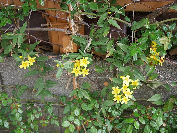 カロライナジャスミンの花が増えてきた。2021年-014.jpg