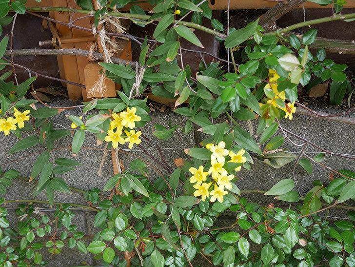 カロライナジャスミンの花が増えてきた。2021年-015.jpg