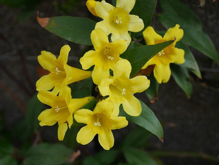 カロライナジャスミンの花が増えてきた。2021年-016.jpg