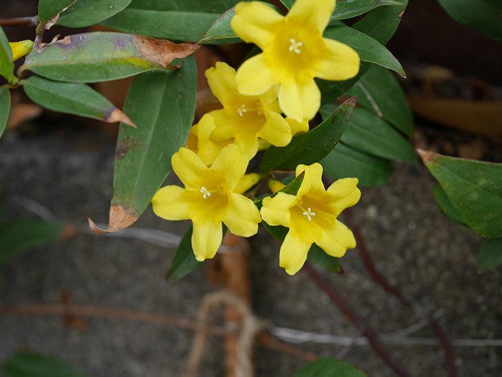カロライナジャスミンの花が増えてきた。2021年-017.jpg