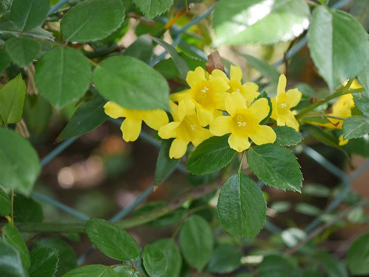 カロライナジャスミンの花が増えてきた。2021年-018.jpg