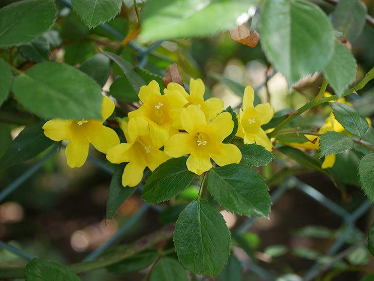 カロライナジャスミンの花が増えてきた。2021年-019.jpg