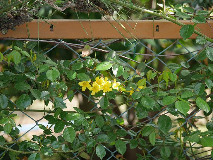 カロライナジャスミンの花が増えてきた。2021年-020.jpg