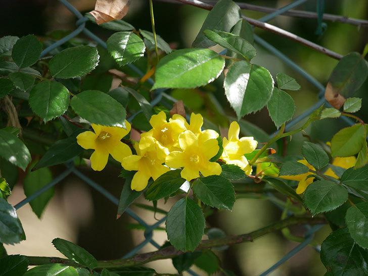 カロライナジャスミンの花が増えてきた。2021年-021.jpg