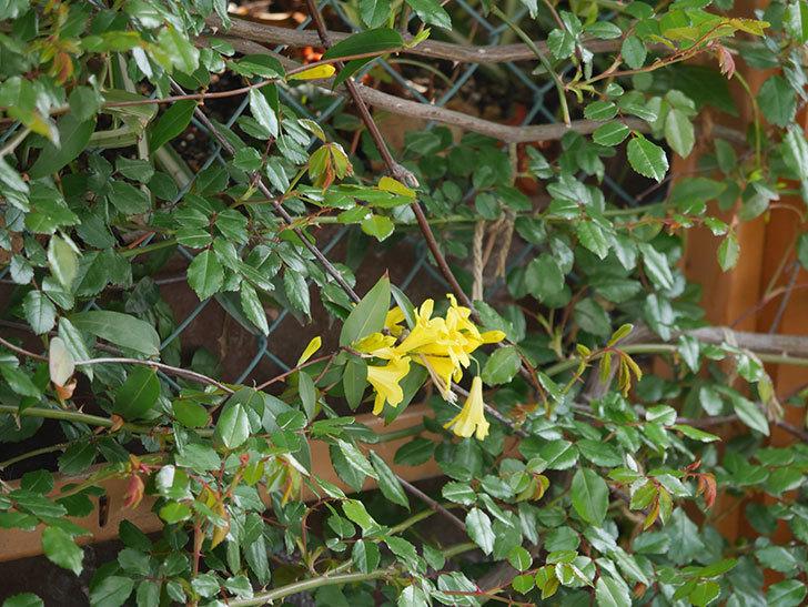 カロライナジャスミンの花が増えてきた。2021年-022.jpg