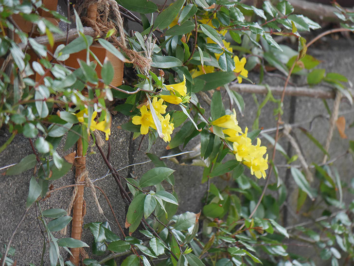 カロライナジャスミンの花が増えてきた。2021年-023.jpg