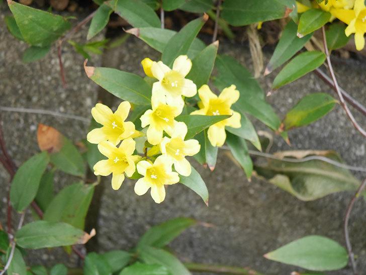 カロライナジャスミンの花が増えてきた。2021年-024.jpg