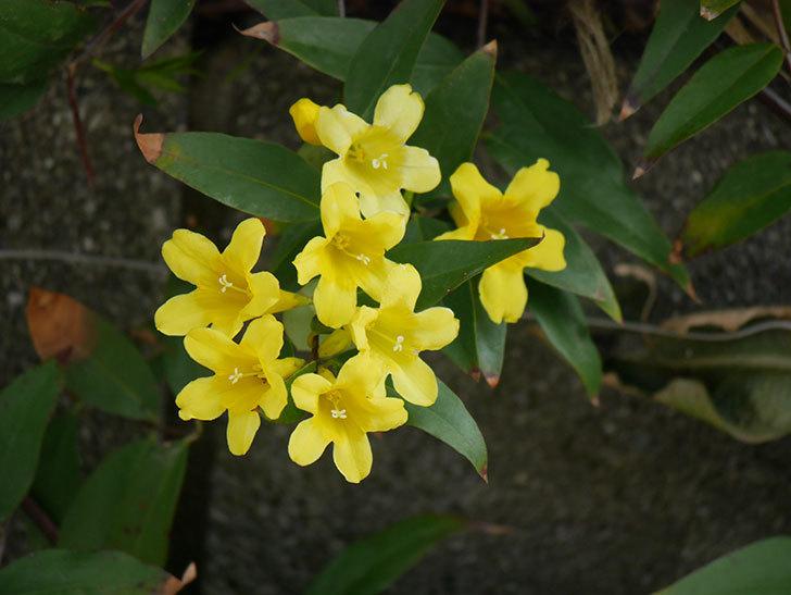 カロライナジャスミンの花が増えてきた。2021年-025.jpg