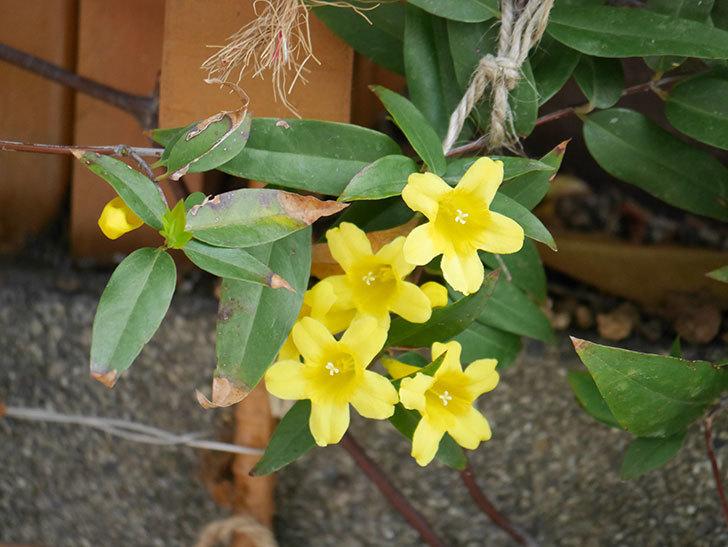 カロライナジャスミンの花が増えてきた。2021年-026.jpg