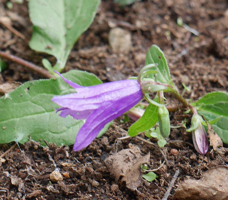 カンパニュラ-ホタルブクロの花が1個咲いていた。2019年-2.jpg