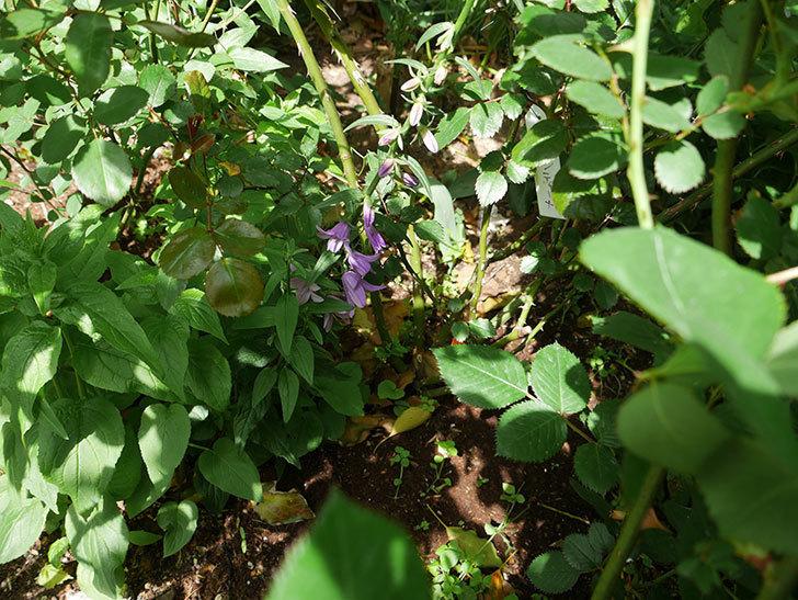 カンパニュラ-ホタルブクロの花が咲きだした。2018年-3.jpg