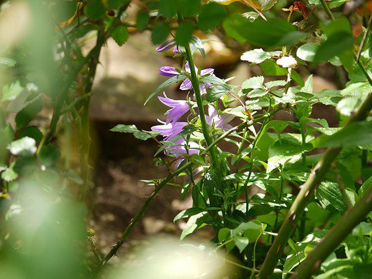 カンパニュラ-ホタルブクロの花が咲きだした。2018年-6.jpg