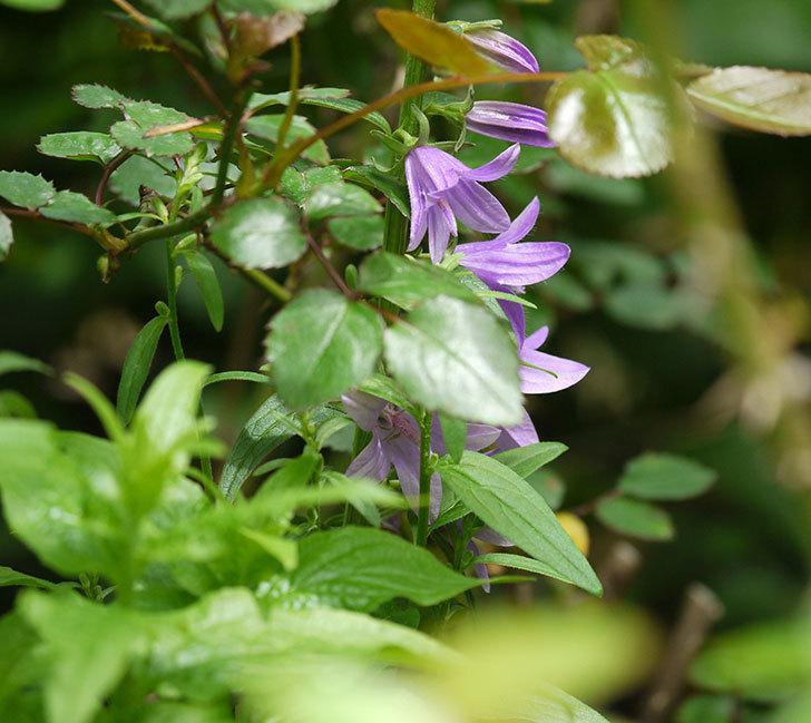 カンパニュラ-ホタルブクロの花が咲きだした。2018年-8.jpg
