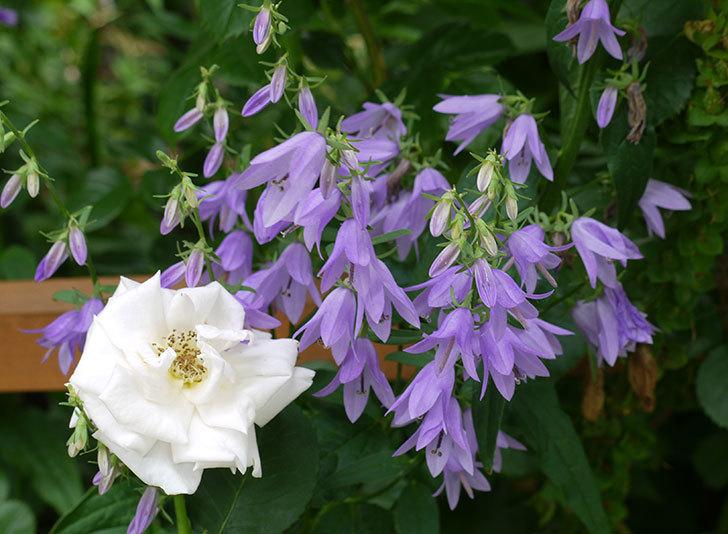 カンパニュラ-ホタルブクロの花が増えてきた。2017年-1.jpg