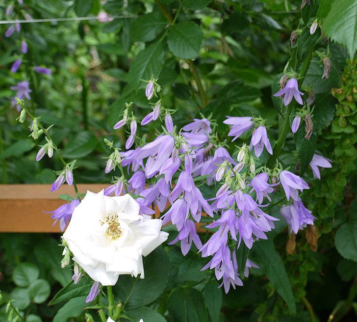 カンパニュラ-ホタルブクロの花が増えてきた。2017年-2.jpg