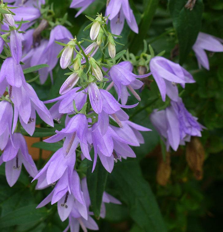 カンパニュラ-ホタルブクロの花が増えてきた。2017年-3.jpg