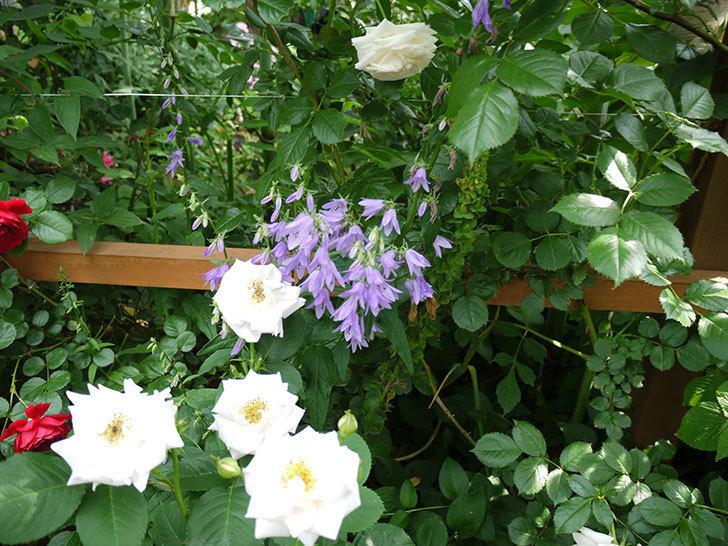 カンパニュラ-ホタルブクロの花が増えてきた。2017年-4.jpg
