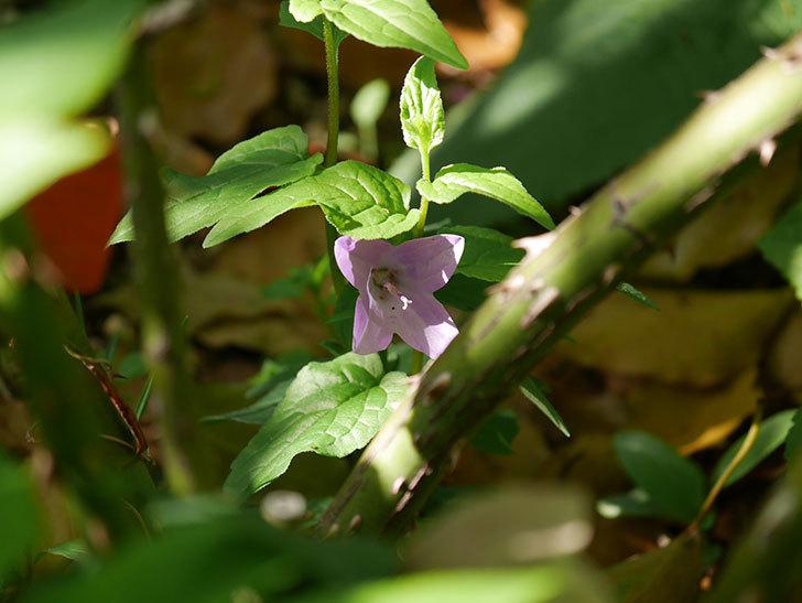 カンパニュラ ホタルブクロの花が1個咲いた。2021年-003.jpg