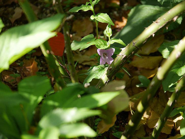 カンパニュラ ホタルブクロの花が1個咲いた。2021年-004.jpg