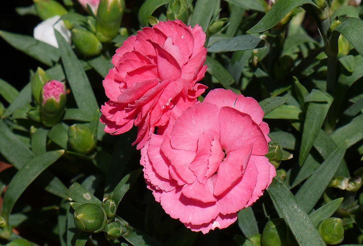 カーネーション-プリティローズがたくさん咲いた2.jpg