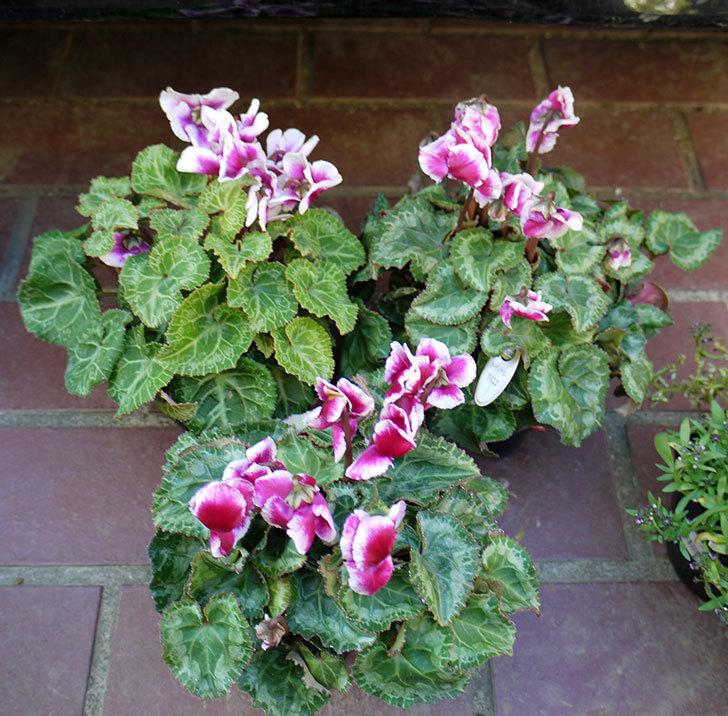 ガーデンシクラメン-アバニコ3個買って来た。2016年-1.jpg