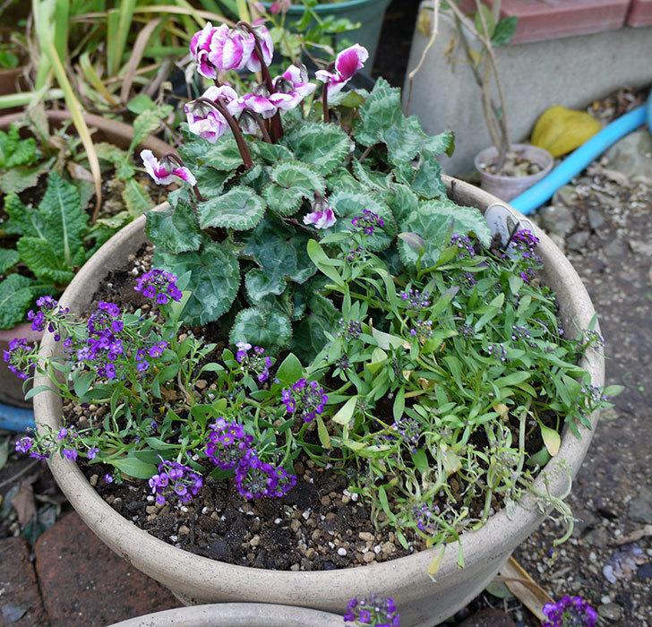 ガーデンシクラメン-アバニコと紫のアリッサムを寄せ植えにした。2016年-1.jpg