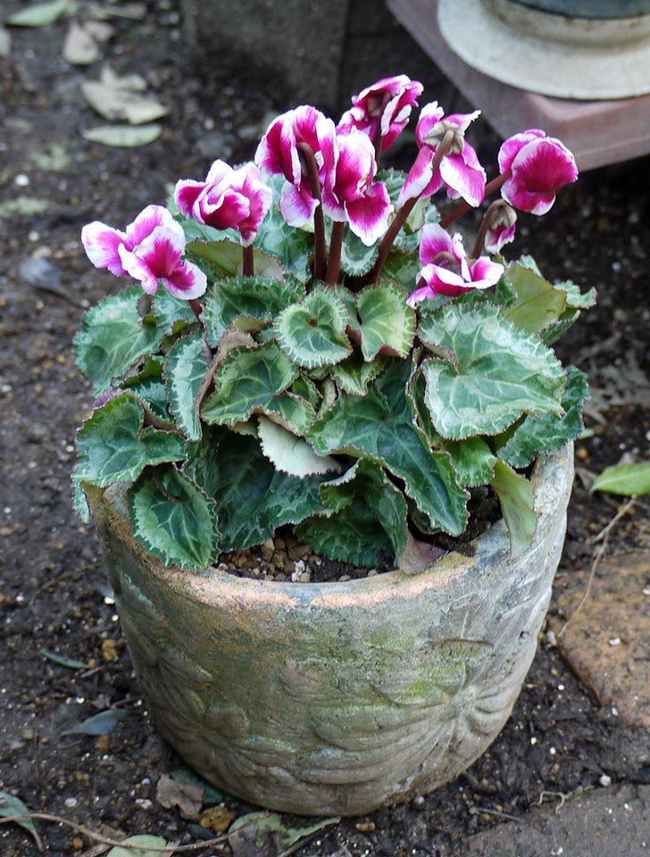 ガーデンシクラメン-アバニコと紫のアリッサムを寄せ植えにした。2016年-10.jpg
