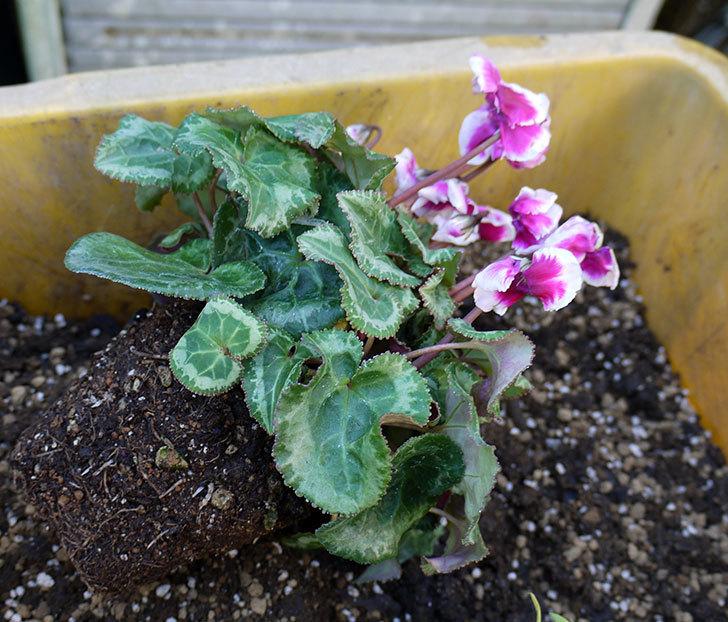 ガーデンシクラメン-アバニコと紫のアリッサムを寄せ植えにした。2016年-2.jpg