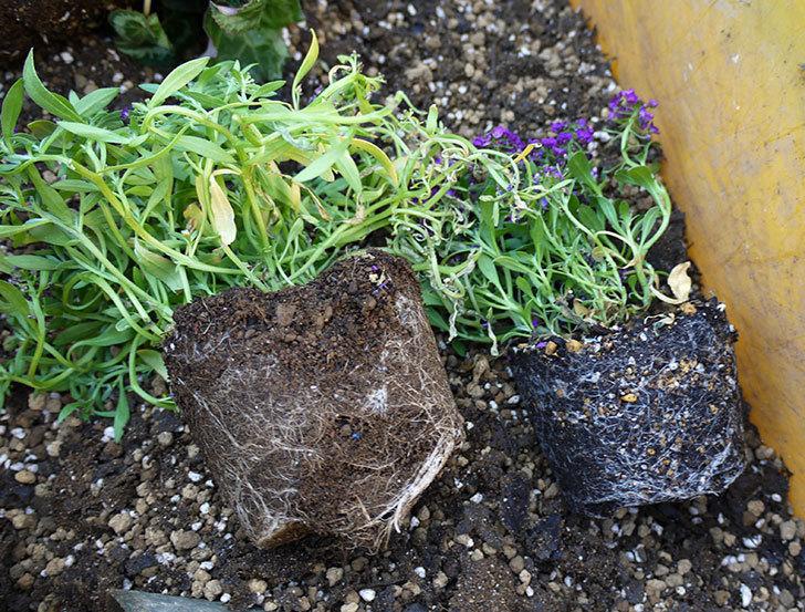 ガーデンシクラメン-アバニコと紫のアリッサムを寄せ植えにした。2016年-3.jpg