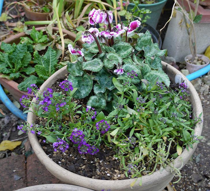 ガーデンシクラメン-アバニコと紫のアリッサムを寄せ植えにした。2016年-4.jpg