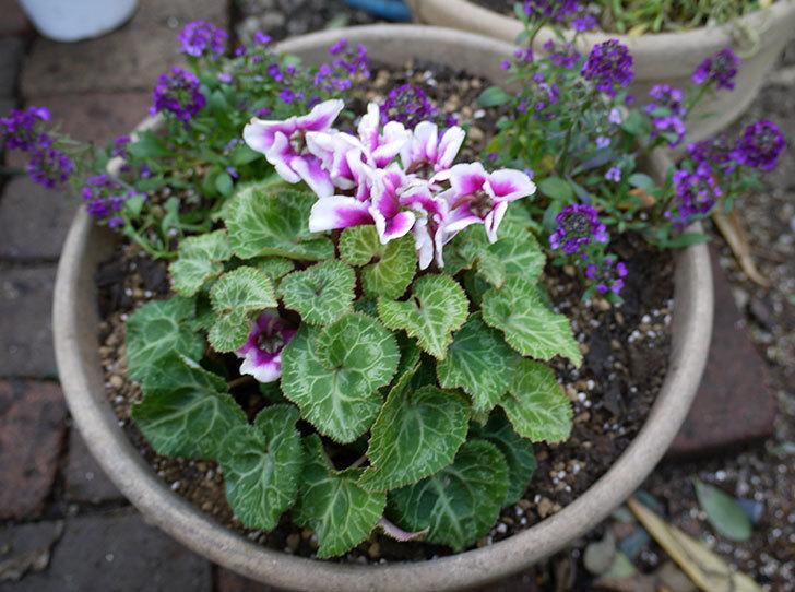 ガーデンシクラメン-アバニコと紫のアリッサムを寄せ植えにした。2016年-5.jpg