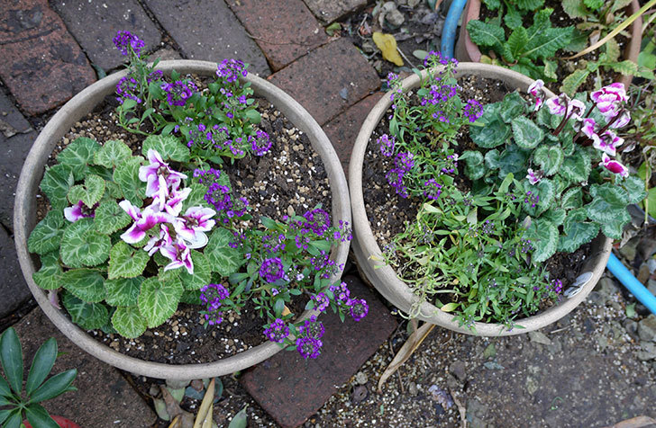 ガーデンシクラメン-アバニコと紫のアリッサムを寄せ植えにした。2016年-6.jpg