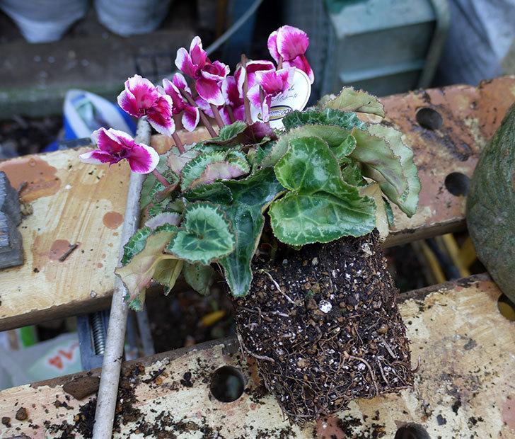 ガーデンシクラメン-アバニコと紫のアリッサムを寄せ植えにした。2016年-7.jpg
