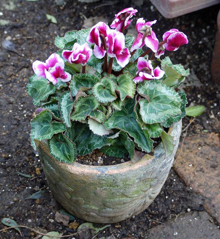 ガーデンシクラメン-アバニコと紫のアリッサムを寄せ植えにした。2016年-9.jpg