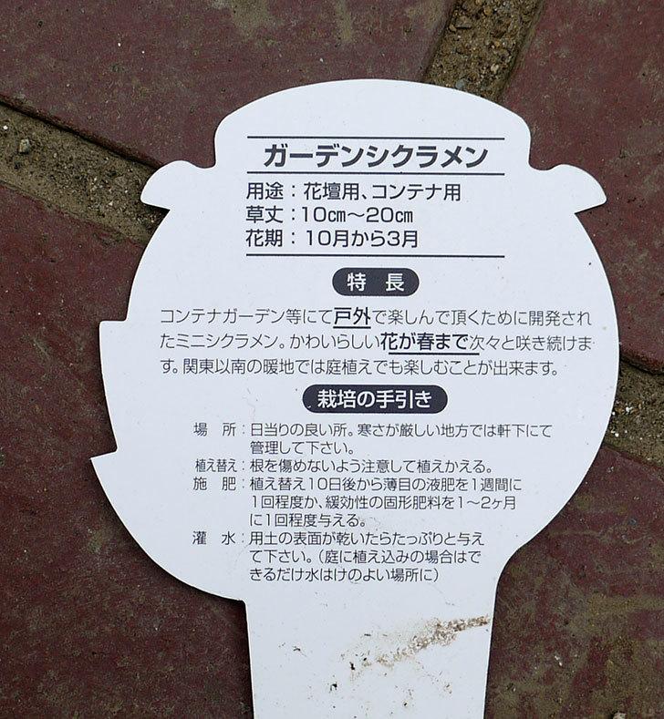 ガーデンシクラメンがケイヨーデイツーで半額になっていたので5個買って来た。2016年-6.jpg