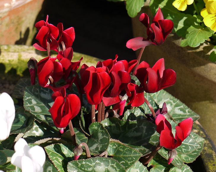 ガーデンシクラメンの花が増えてきた。2015年-3.jpg