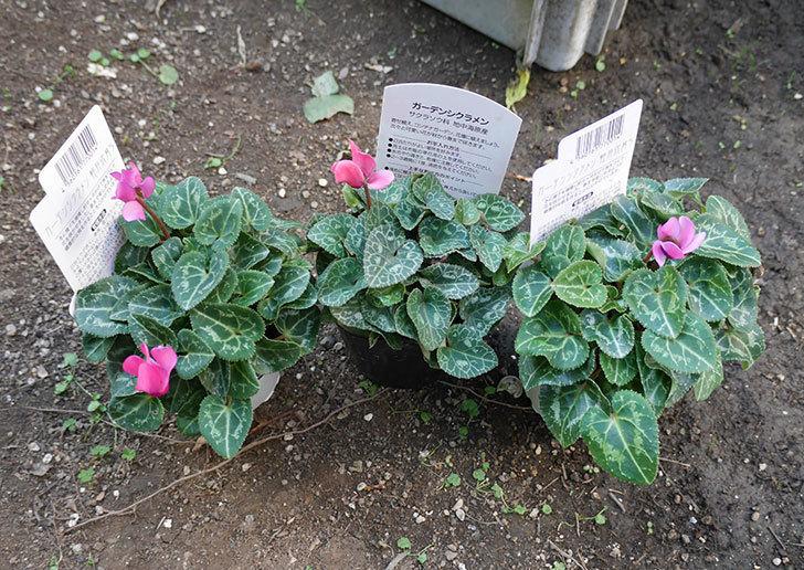 ガーデンシクラメンの苗がホームズで100円だったので3個買って来た。2018年-1.jpg