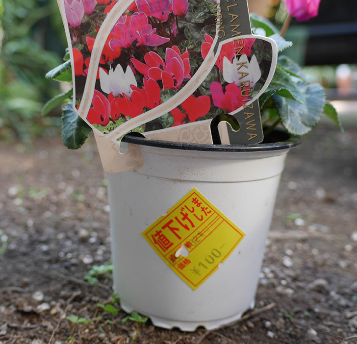 ガーデンシクラメンの苗がホームズで100円だったので3個買って来た。2018年-4.jpg