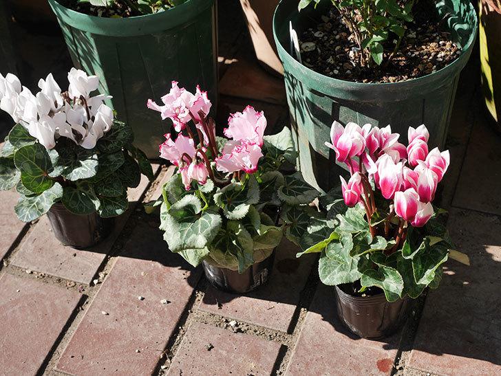 ガーデンシクラメンの苗を3個ホームズで買って来た。2020年-001.jpg