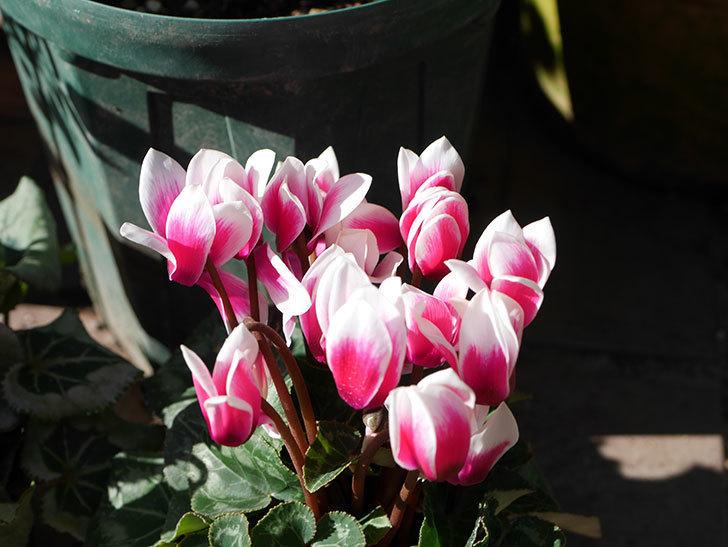 ガーデンシクラメンの苗を3個ホームズで買って来た。2020年-003.jpg