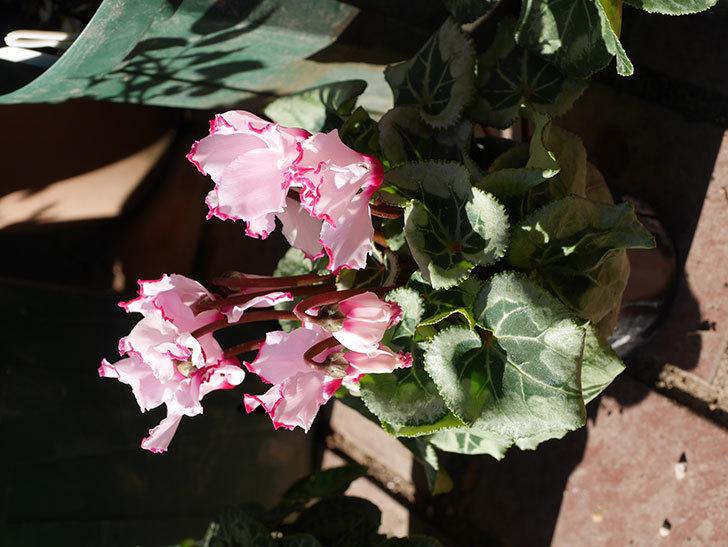 ガーデンシクラメンの苗を3個ホームズで買って来た。2020年-005.jpg