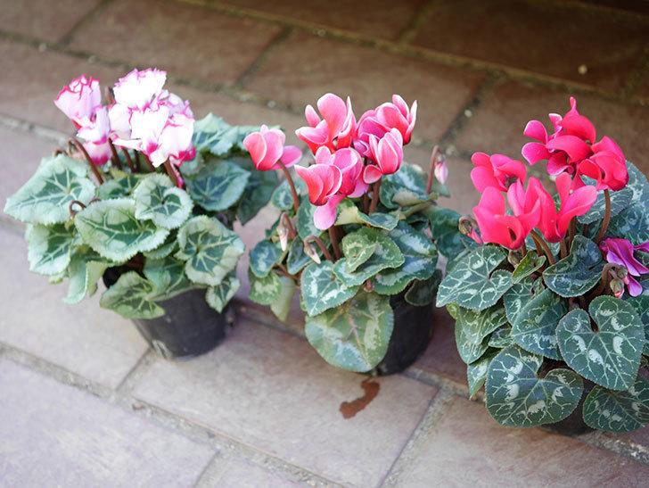 ガーデンシクラメンの苗を追加で3個ホームズで買って来た。2020年-001.jpg