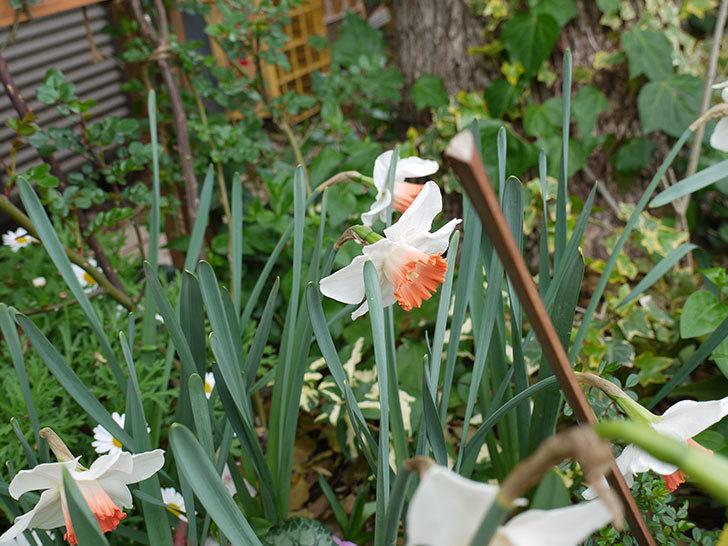 ガーデンジャイアント(スイセン)のが咲いた。2017年-15.jpg