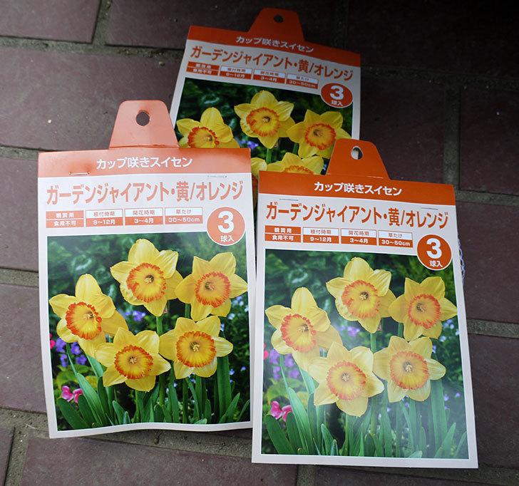 ガーデンジャイアント(スイセン)の球根3袋買って来た。2016年-1.jpg