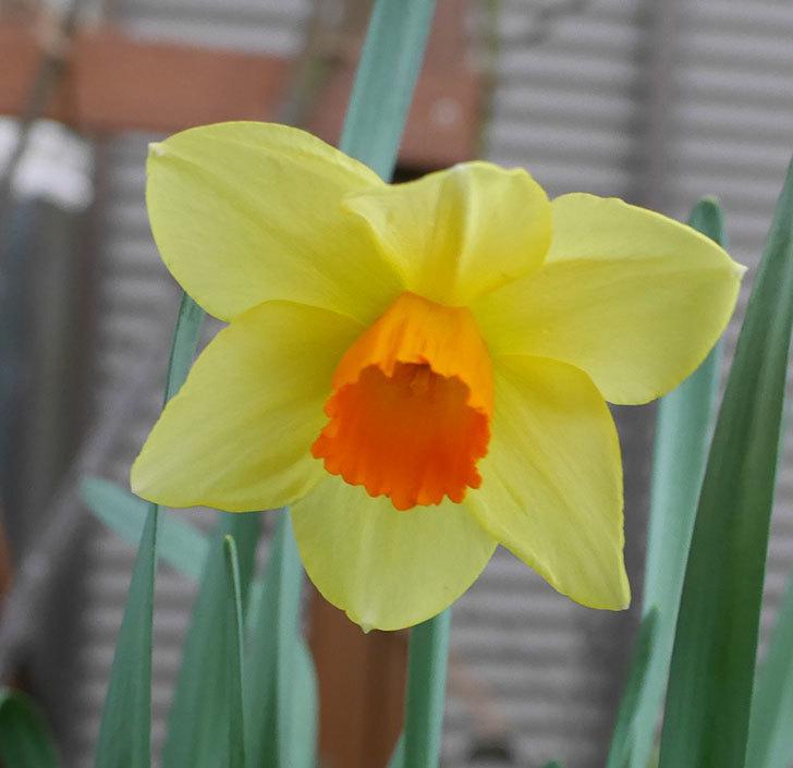 ガーデンジャイアント(スイセン)の花が1個咲いた。2019年-2.jpg