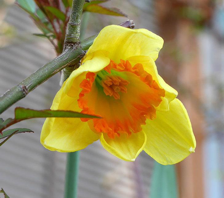 ガーデンジャイアント(スイセン)の花がすこし咲いた。2018年-1.jpg