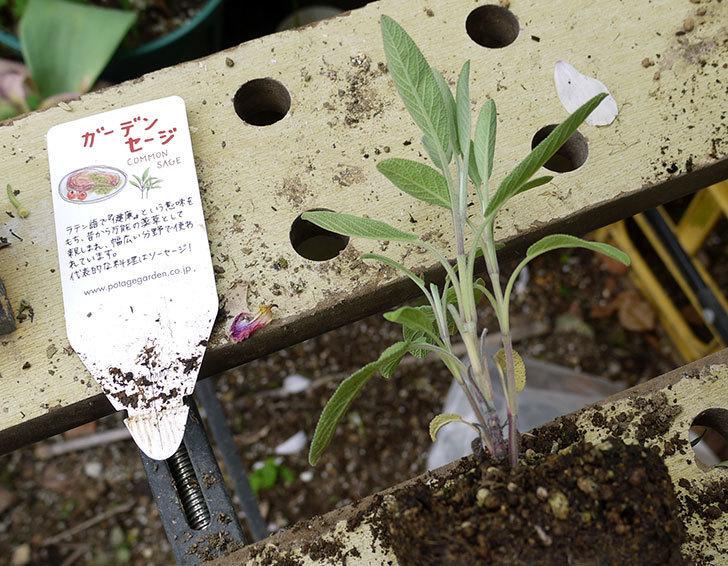 ガーデンセージの苗をカインズで買ってきた。2016年-2.jpg