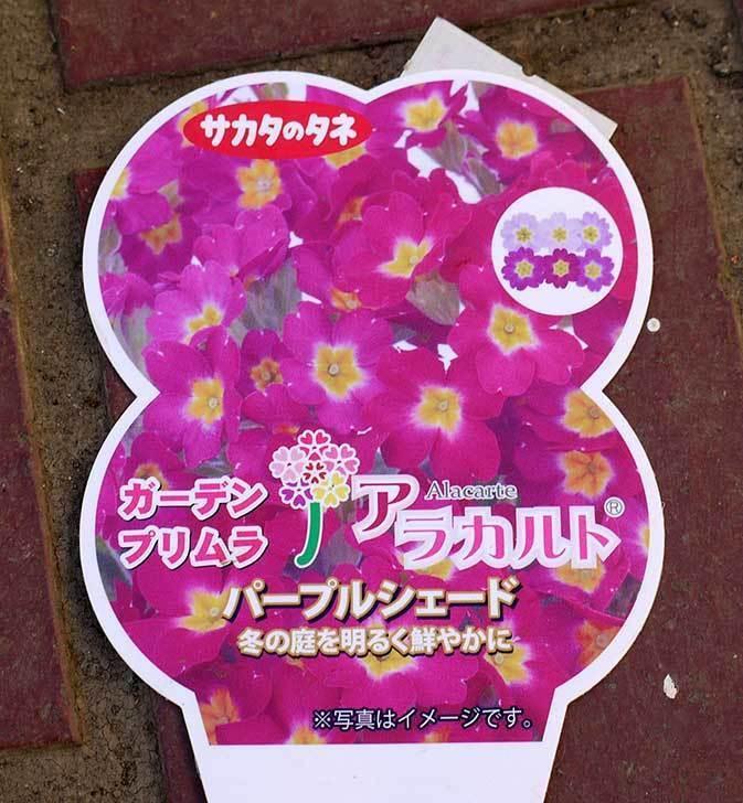 ガーデンプリムラ-アラカルト-パープルシェード3個買って来た3.jpg