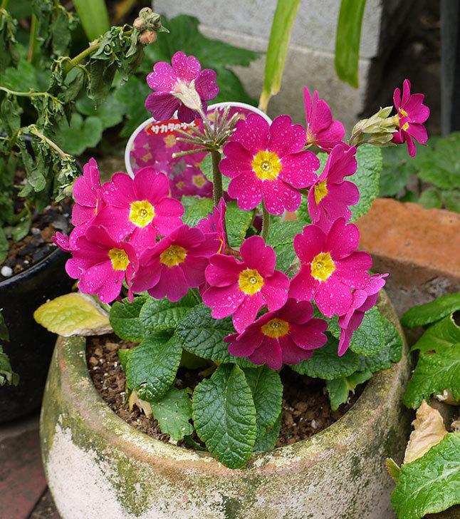 ガーデンプリムラ-アラカルト-パープルシェードが綺麗に咲いた。2016年-1.jpg