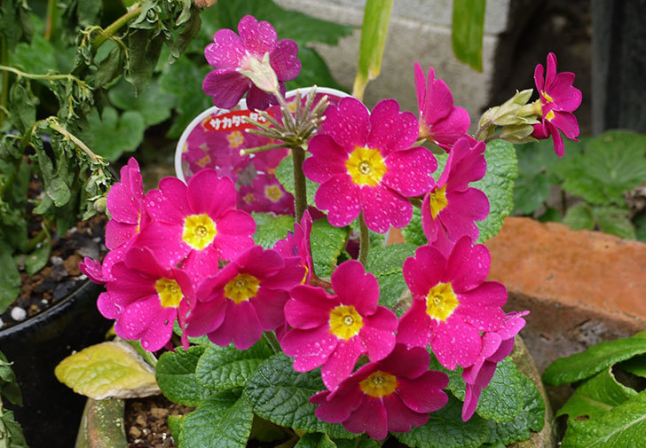 ガーデンプリムラ-アラカルト-パープルシェードが綺麗に咲いた。2016年-2.jpg